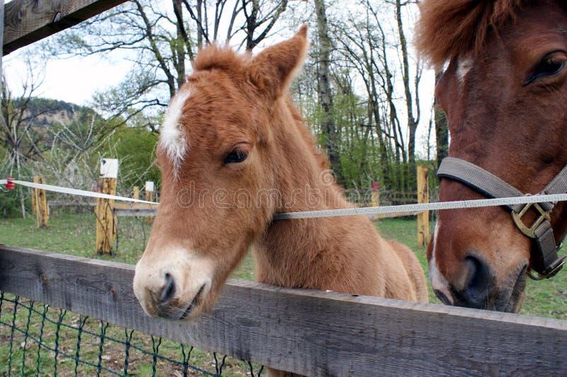 Download Foal stock image. Image of brown, rural, horse, horses - 9104741