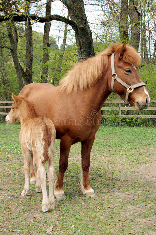 Foal royalty free stock photos