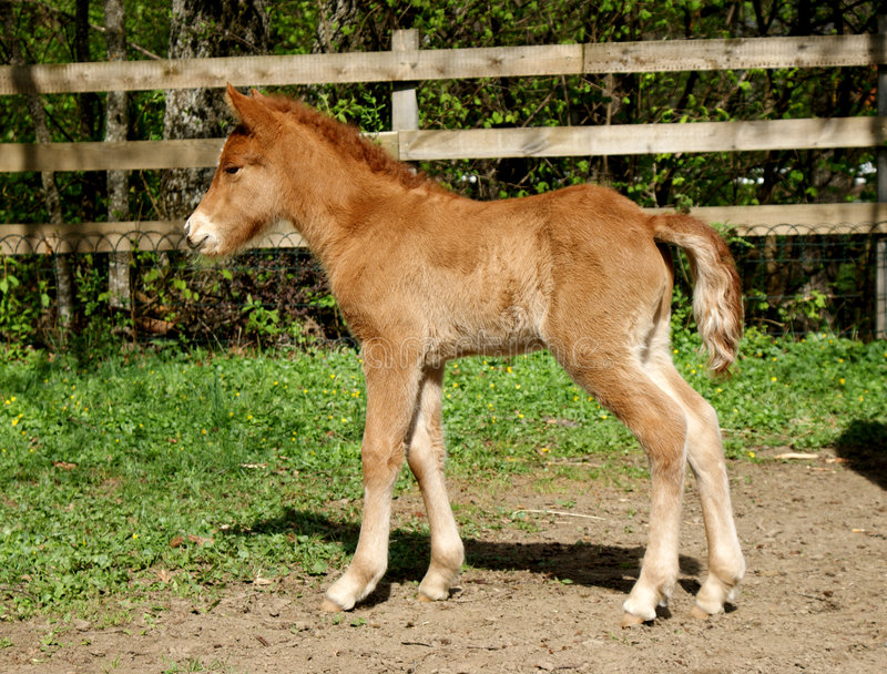 Download Foal stock image. Image of irish, brown, mare, green, farm - 9104955