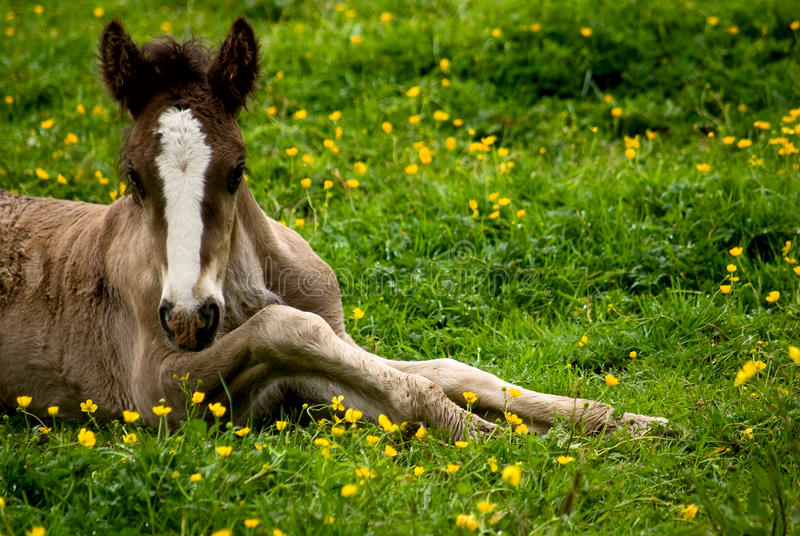 Download Foal Royalty Free Stock Photo - Image: 9732945