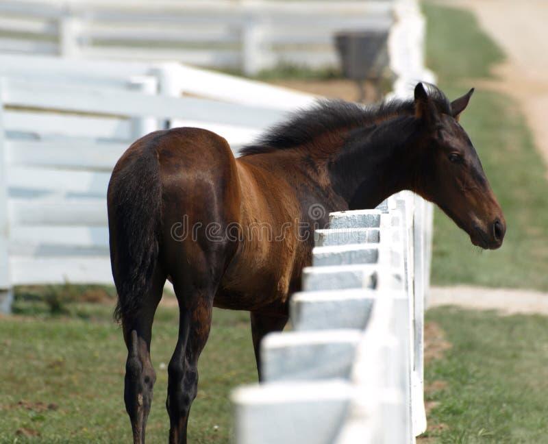 Foal ad una rete fissa fotografia stock libera da diritti