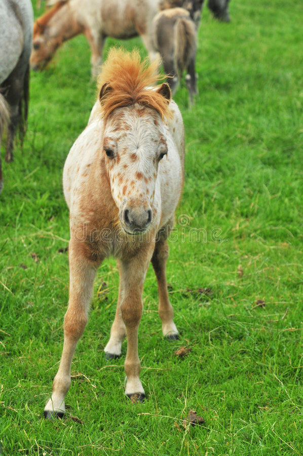 Foal from American Mini horses royalty free stock photography