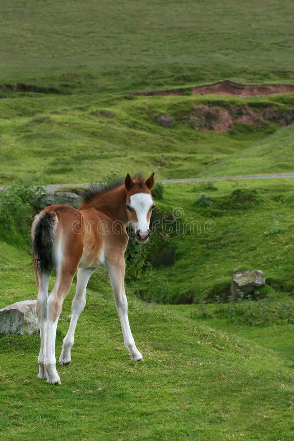 Foal bello immagine stock