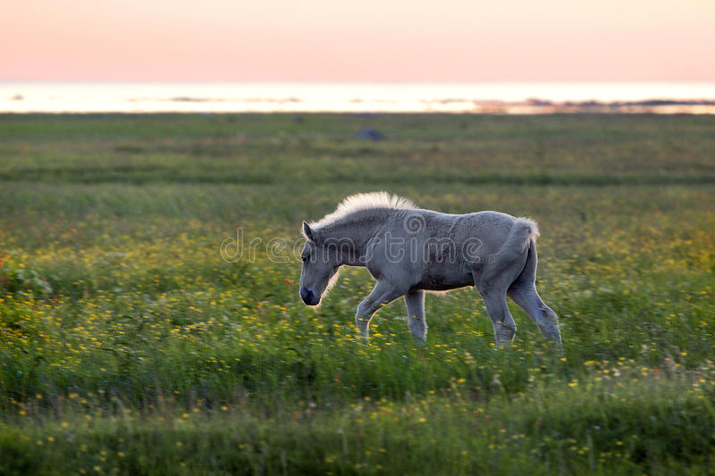Download Foal on coastal meadow stock photo. Image of rural, outdoors - 33876520