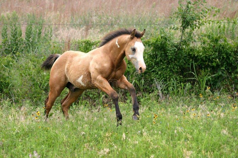 Foal corrente fotografia stock
