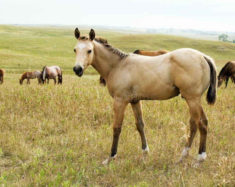 Foal del cavallo quarto dell'acaro degli agrumi immagine stock libera da diritti