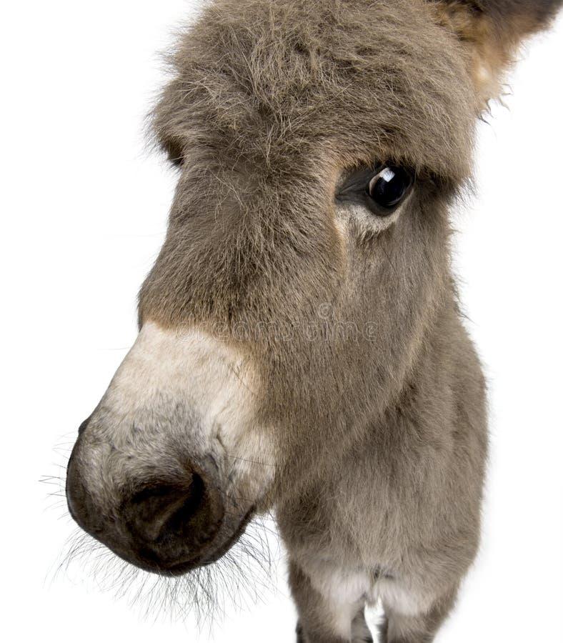 Foal dell'asino contro priorità bassa bianca fotografie stock