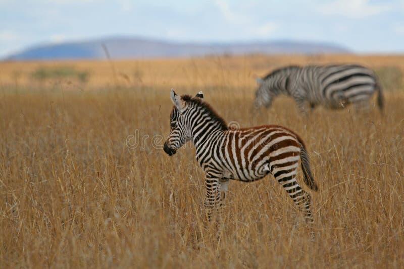 Foal della zebra fotografie stock