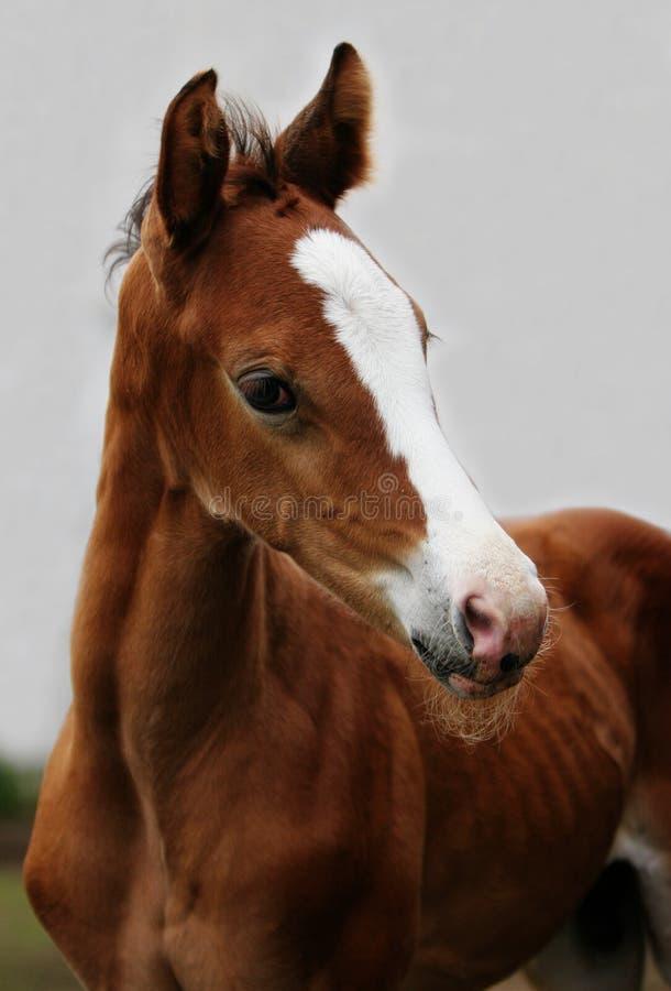 Foal Di Fine Di Colore Marrone In Su Immagine Stock Libera da Diritti