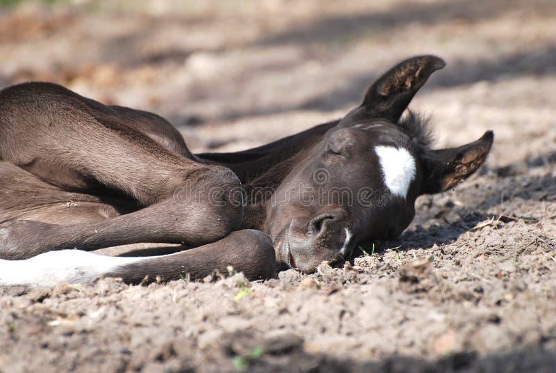 Foal di sonno fotografia stock
