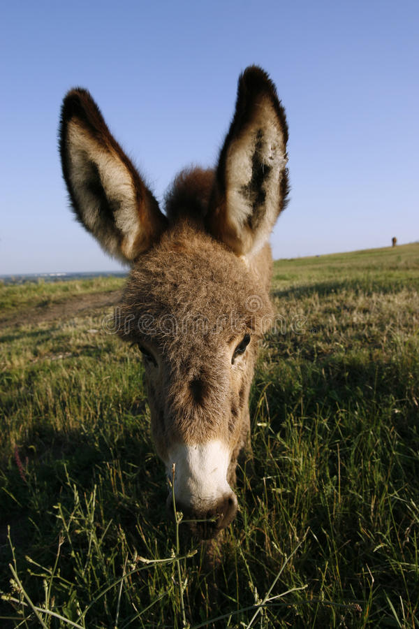 Download Foal Donkey (Equus Africanus F. Asius) Stock Photo - Image: 12298220