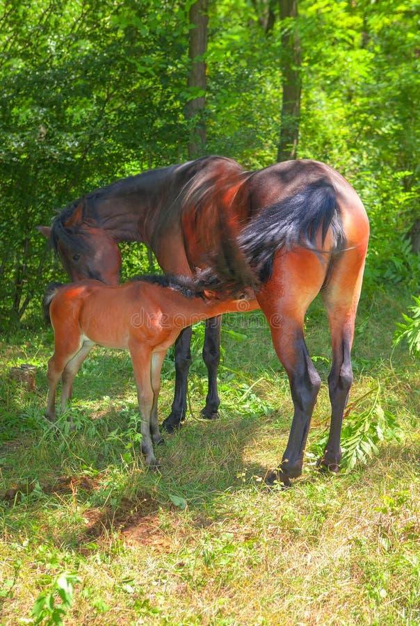 Foal e cavalla immagini stock libere da diritti