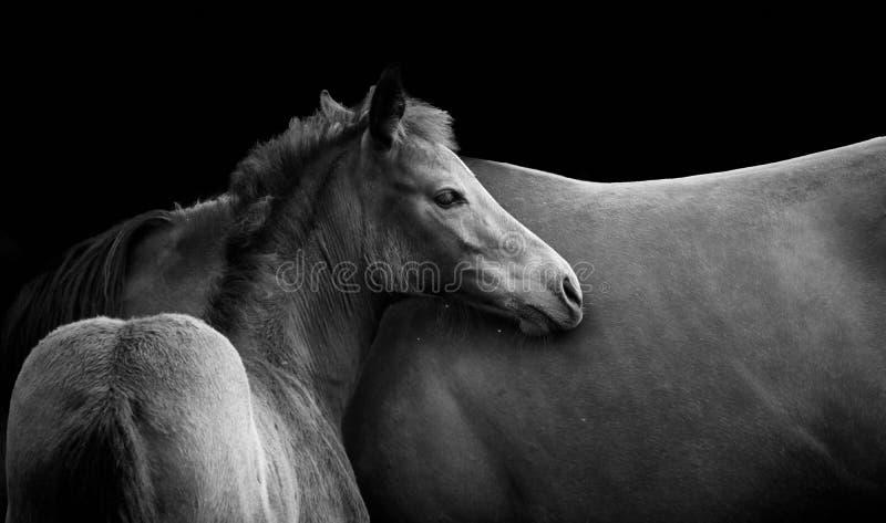 Foal en merrie in zwart-wit royalty-vrije stock foto