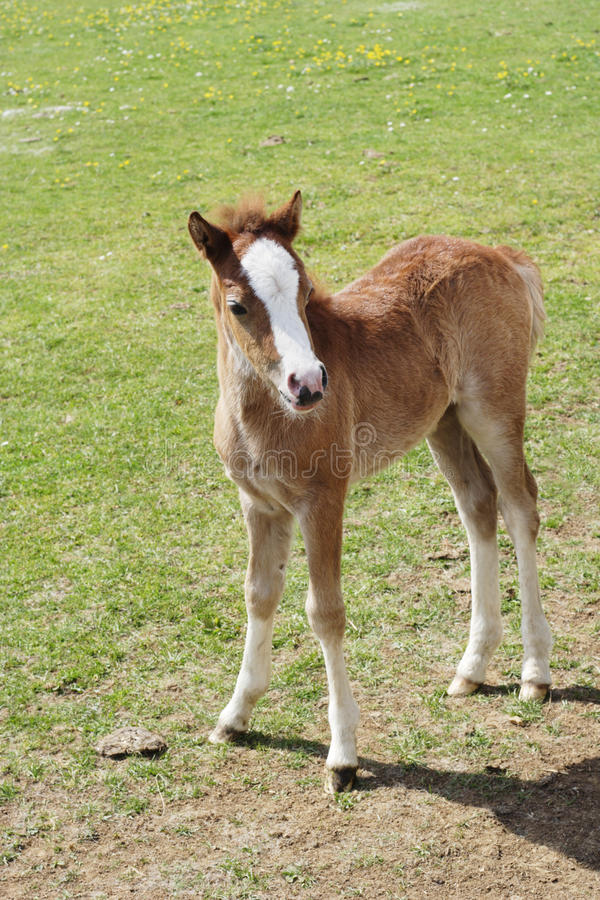 Download Foal in field stock photo. Image of meadow, animal, white - 10058036
