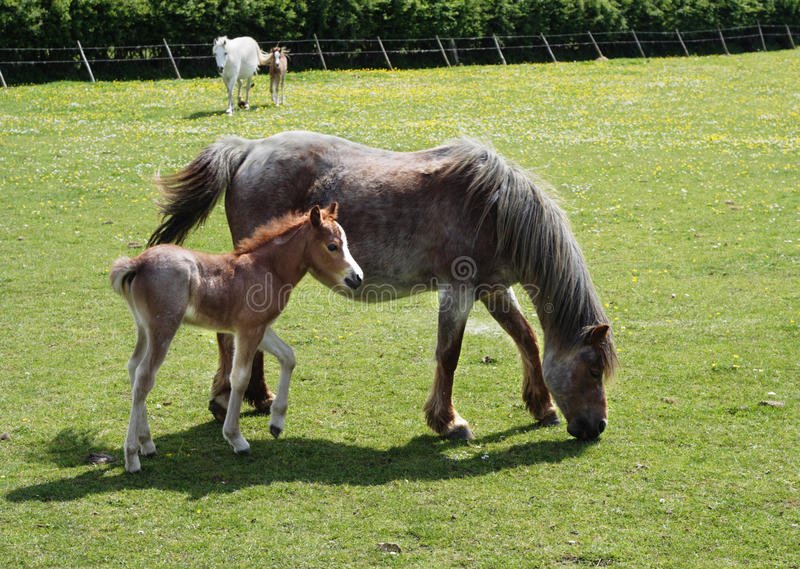 Download Foal In Field With Its Mother Stock Image - Image: 10058009