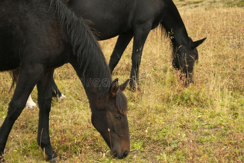 A foal grazing with her mother royalty free stock photo
