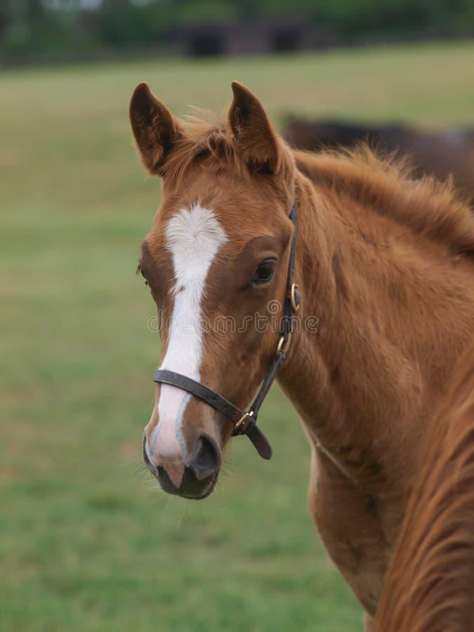 Foal Headshot stock image