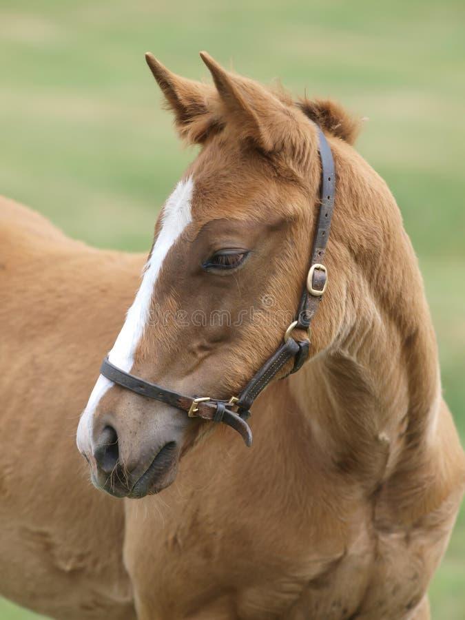 Foal Headshot stock photo
