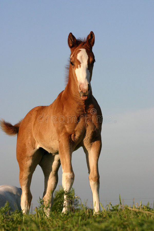 Foal On Hill Royalty Free Stock Photography