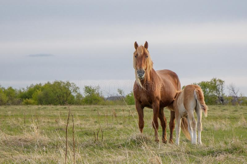 Foal and his mother grazing in the pasture stock photo
