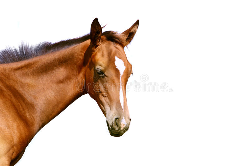 Download Foal isolated stock photo. Image of equestrian, brown - 11899882