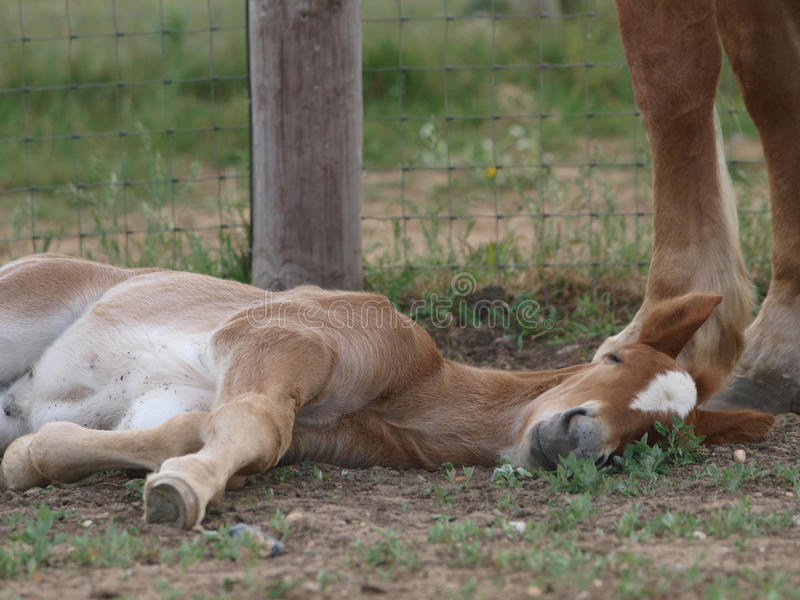 Foal Laying Down Stock Photo
