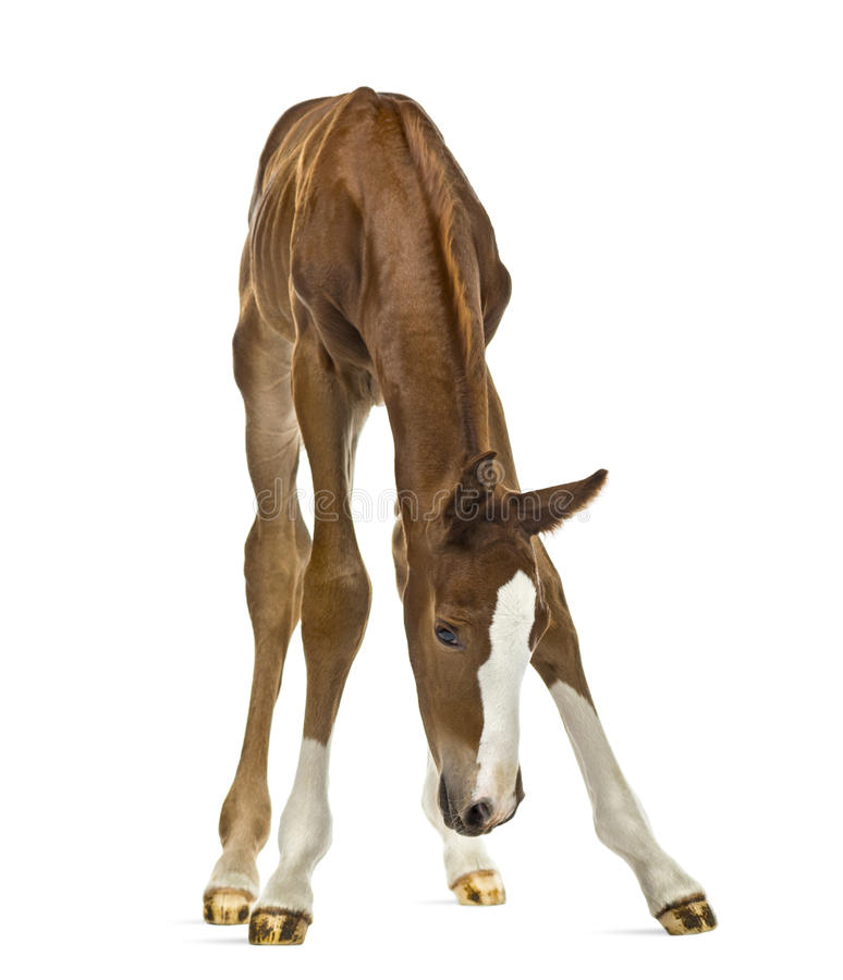 Foal looking down royalty free stock image