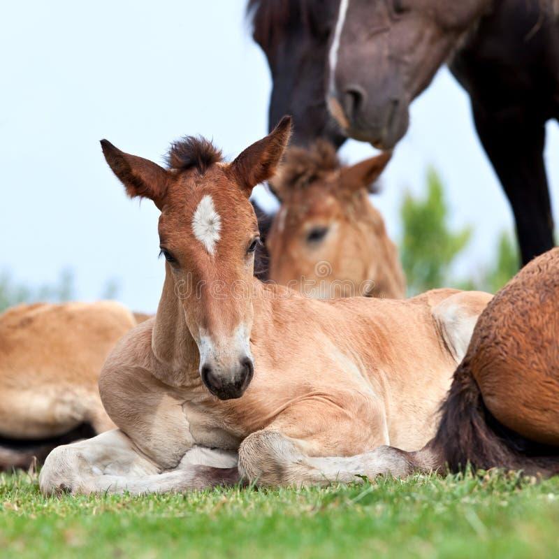 Foal lying on grass. Bay foal lying on grass in field royalty free stock photo