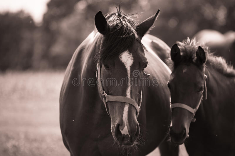 A foal and mare stock photo
