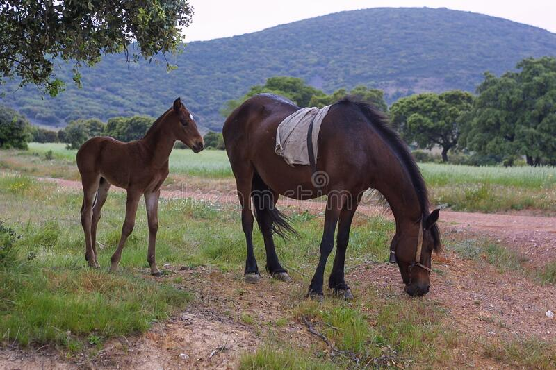 Foal and Mare. A mare and her foal graze peacefully in the countryside stock image