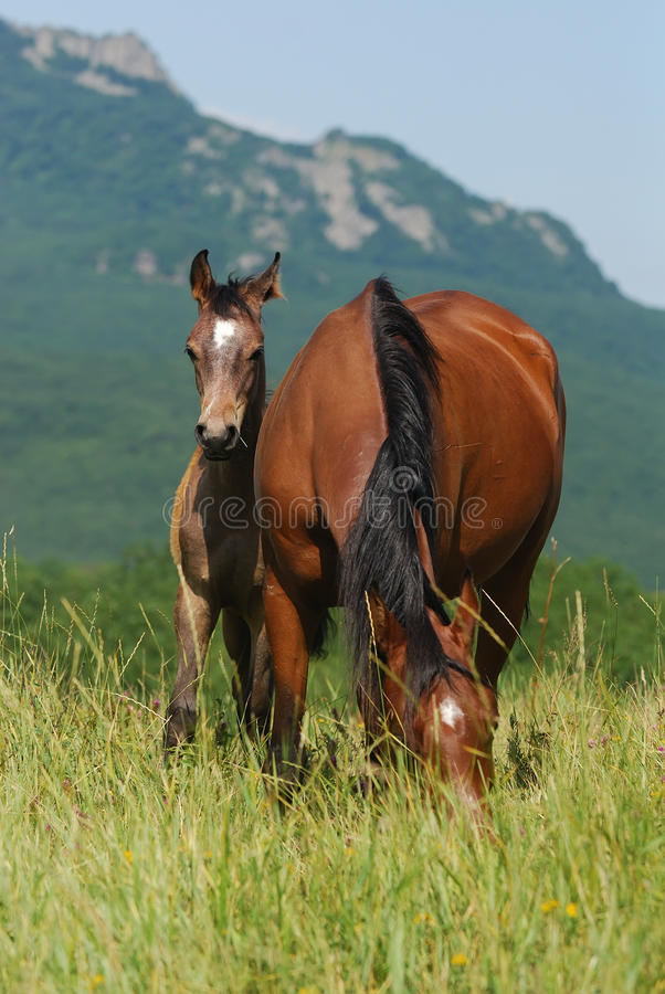 Download Foal And Mare On The Pasture Stock Image - Image: 10242143