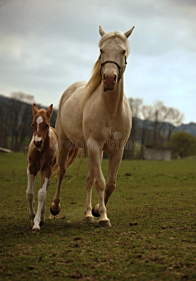 Foal and mare on the pasture stock image