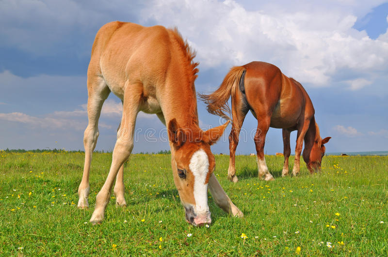 Download Foal With A Mare On A Summer Pasture. Royalty Free Stock Photo - Image: 20050805