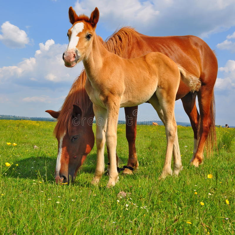 Foal with a mare on a summer pasture. A foal with a mare on a summer pasture in a rural landscape royalty free stock image