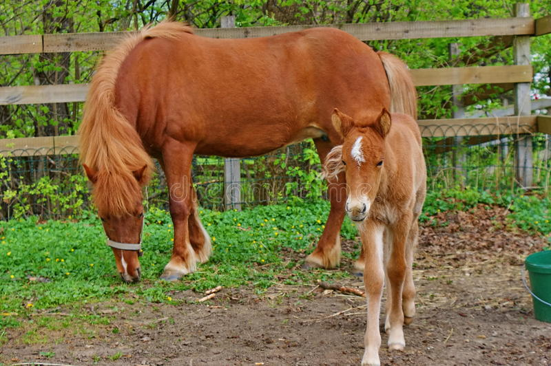 Download Foal with mother. stock image. Image of nature, pony - 15133533