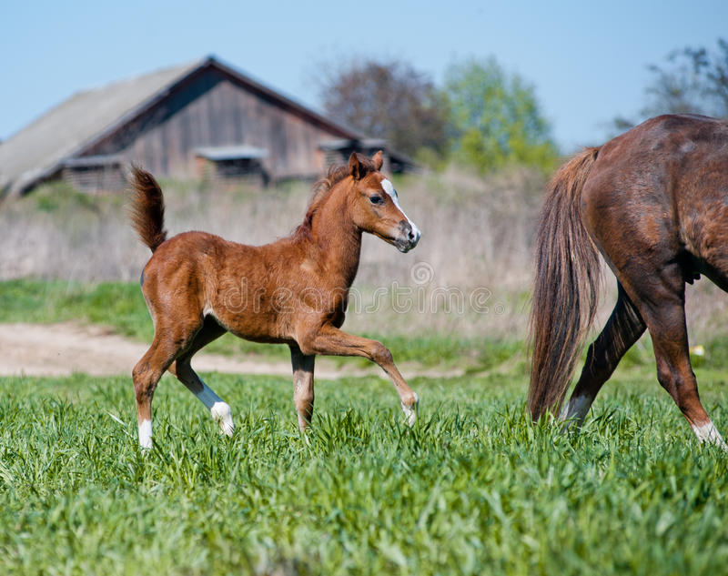 Foal with mother royalty free stock image