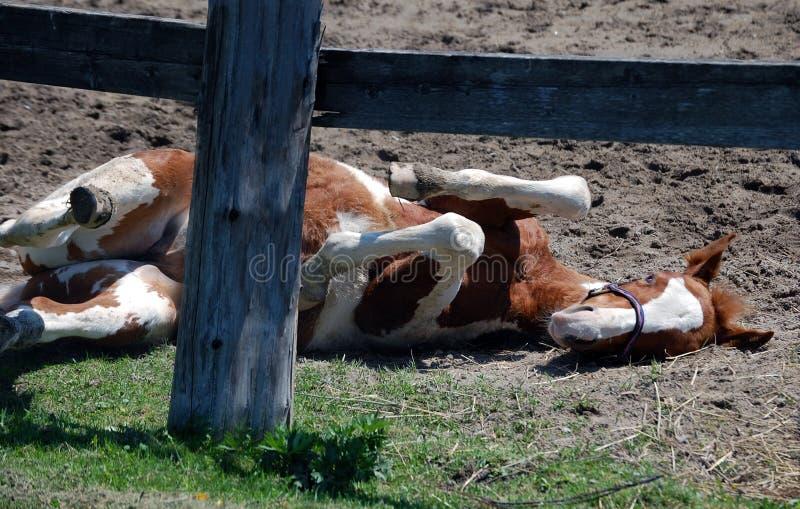 foal pinto παιχνίδι στοκ φωτογραφία