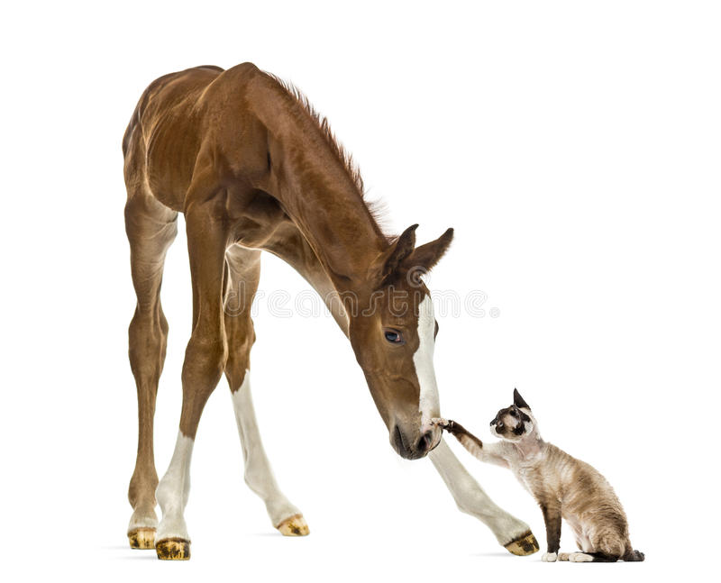 Foal playing with a cat. Isolated on white royalty free stock images