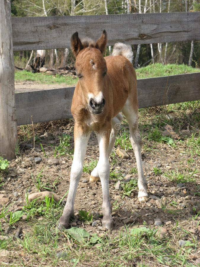 a foal pony on a loose summer day royalty free stock image