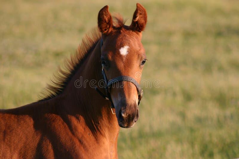 foal Raoul στοκ φωτογραφίες με δικαίωμα ελεύθερης χρήσης