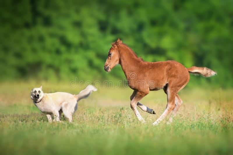 Colt and dog royalty free stock image