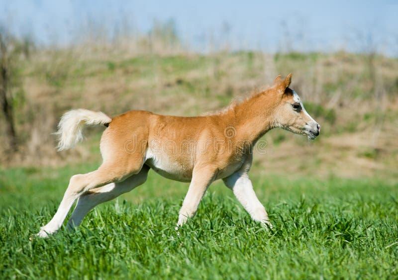 Foal Runs Royalty Free Stock Photography