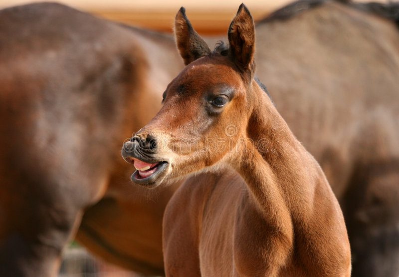 Download Foal smiling stock image. Image of young, laugh, thoroughbred - 539167