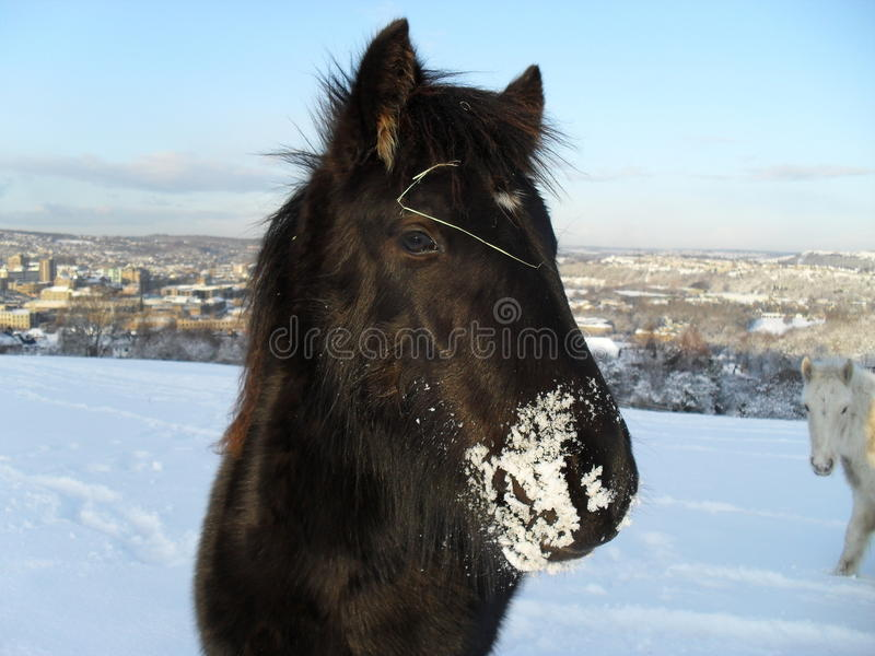 Foal in the snow stock photo