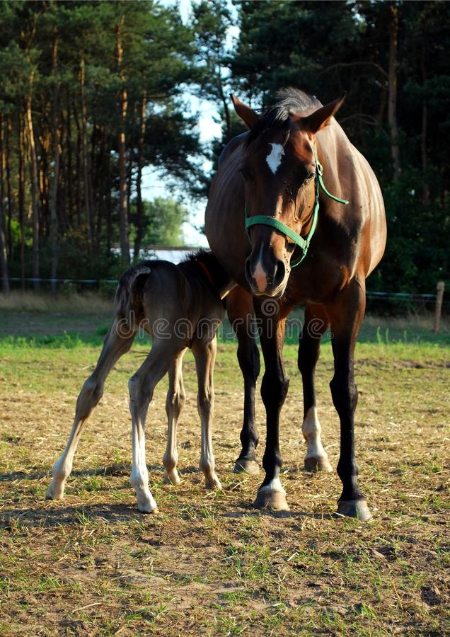 Free Foal Suckling Her Mother Royalty Free Stock Image - 15420516