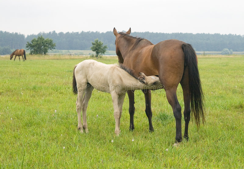 Foal suckling his mother stock image