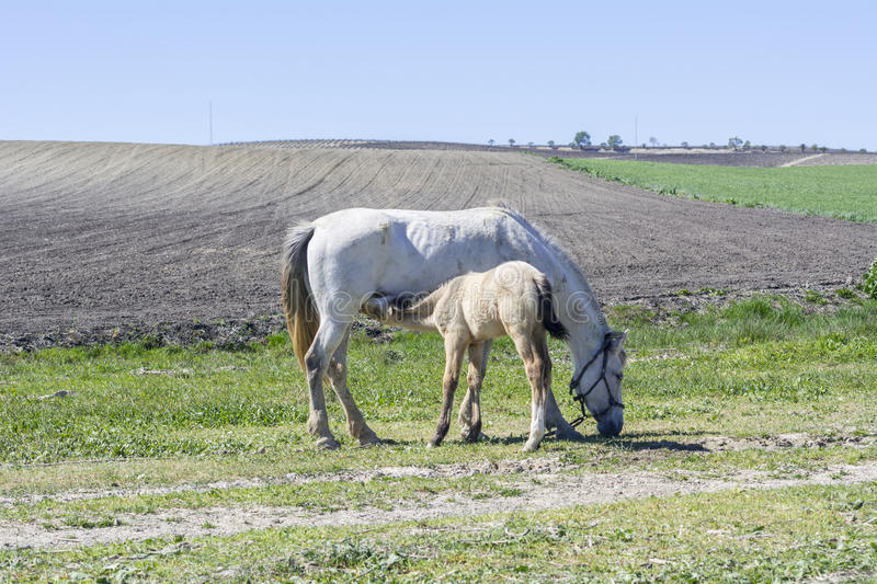 Foal suckling his mother grazing stock images