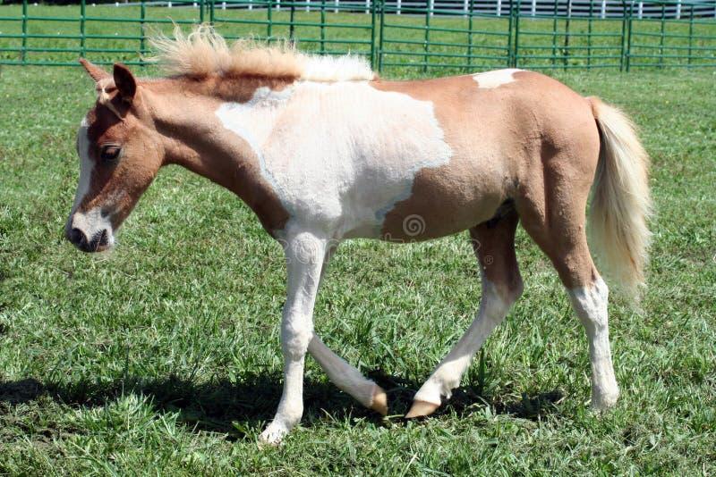 foal tobiano palomino στοκ εικόνα