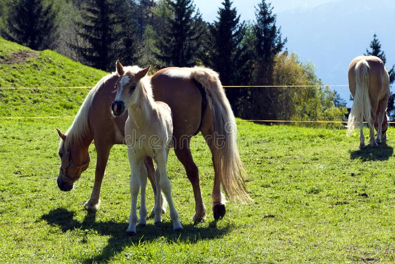 Haflinger breed horses in St. Catarine, South Tirol, Italy royalty free stock photo