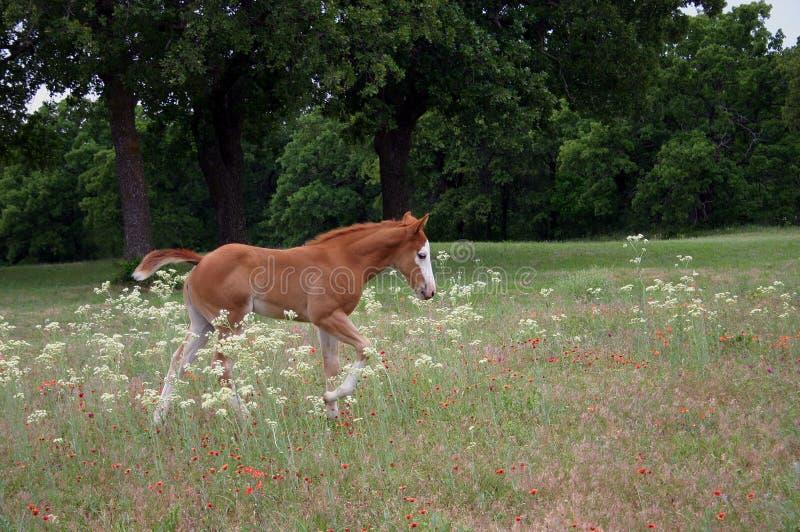 Foal Walking in Wildflowers royalty free stock photos